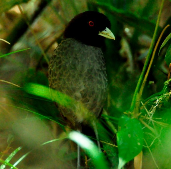 Pale-billed Antpitta Grallaria carrikeri- Alex Durand