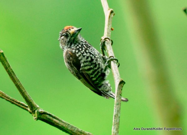 Speckle-chested Piculet male - Alex Durand-001