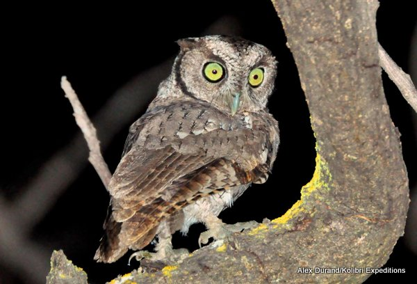 West Peruvian Screech Owl Megascops roboratus pacificus Alex Durand