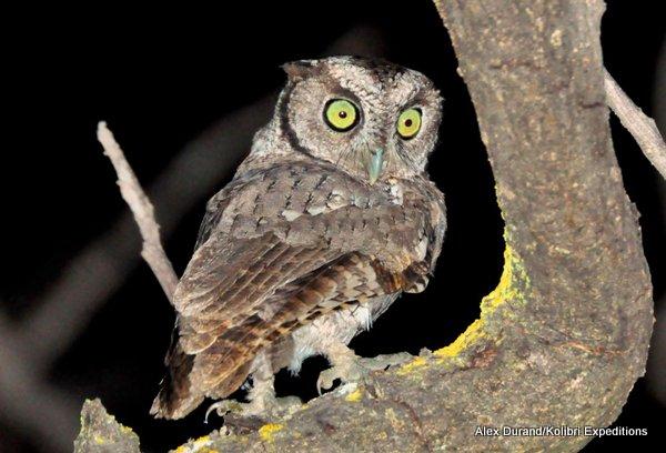 West Peruvian Screech Owl Megascops roboratus pacificus Alex Durand