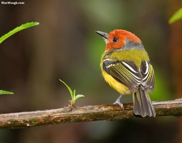 Lulu's Tody-Flycatcher or Johnson's Tody-Flycatcher Poecilotriccus luluae. Photo: Max Waugh