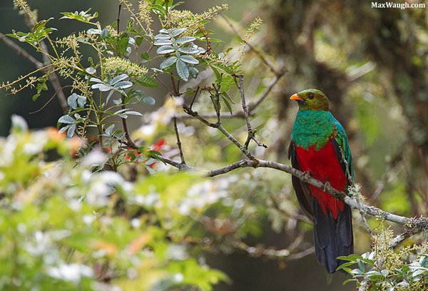 Golden-headed Quetzal  Pharomacrus auriceps. Photo: Max Waugh