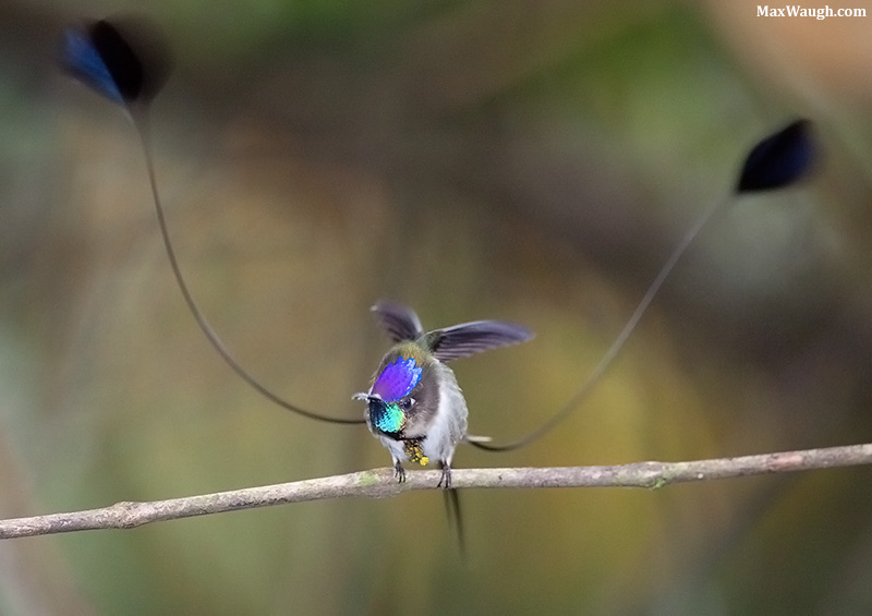 Marvelous Spatuletail Loddigesia mirabilis. Photo: Max Waugh