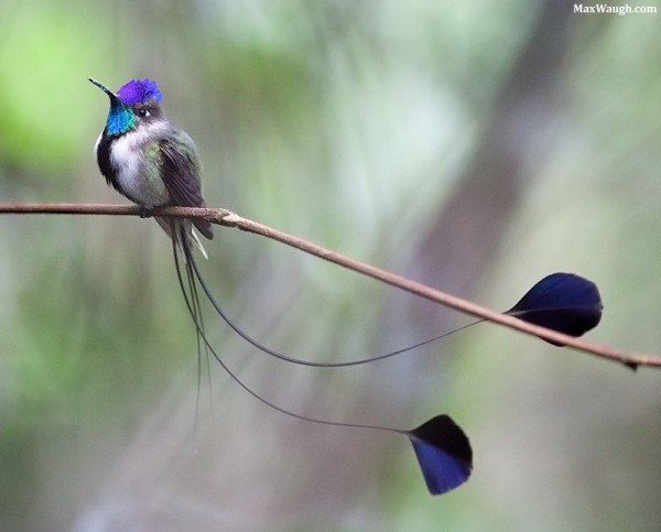 Marvellous Spatuletail Loddigesia mirabilis. Photo: Max Waugh