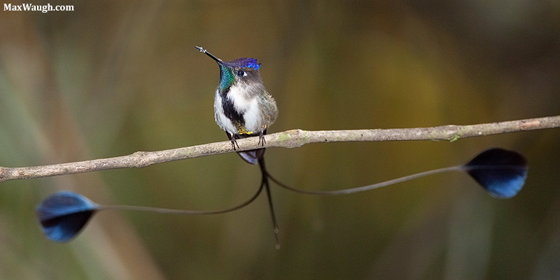 Marvelous Spatuletail Loddigesia mirabilis. Photo: Max Waugh