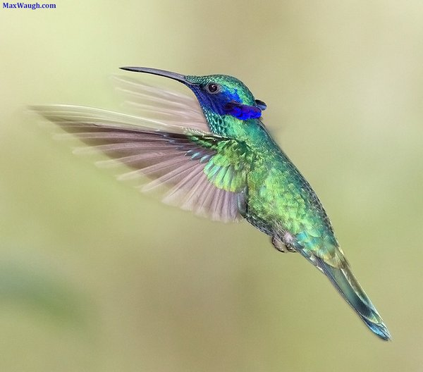 Sparkling Violetear by Max Waugh