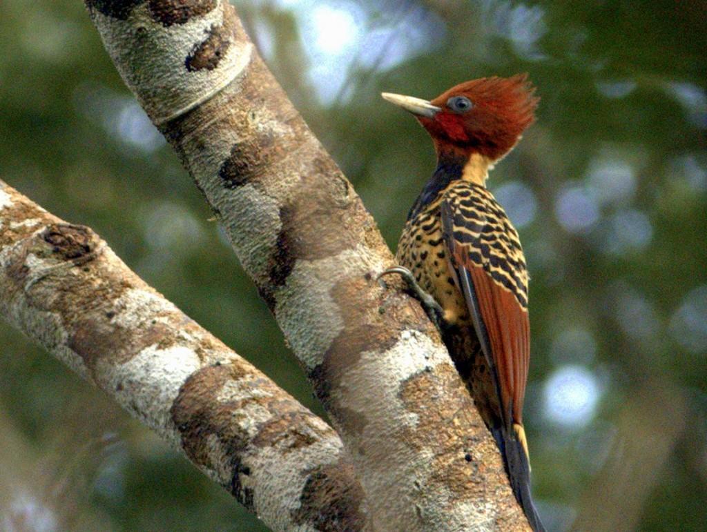Rufous-headed Woodpecker