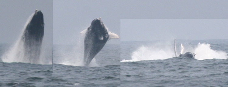 Humpback Whale. Lima Pelagic Nov 10, 2006. Photo: Gunnar Engbl?om