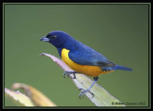 Rufous-bellied Euphonia - Photo: Robert Scanlon