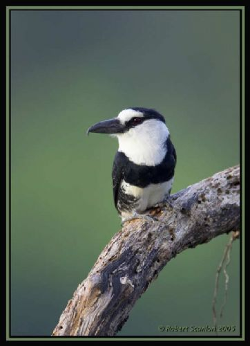 White-necked Puffbird - Photo: Robert Scanlon