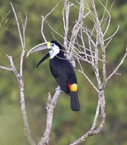 White-throated Toucan, Ramphastos tucanus. Manu, Per? Photo:Gunnar Engblom