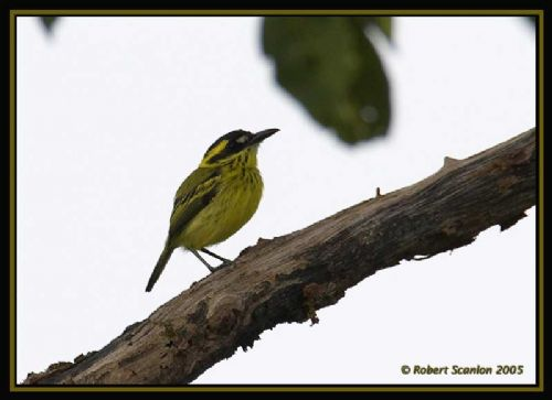 Yellow-browed Tody-Flycatcher - Photo: Robert Scanlon