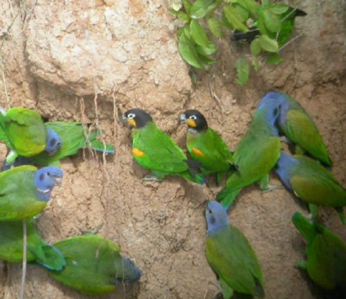 Orange-cheecked and Blue-headed Parrots, Manu lowland, Perú. Photo:Gunnar Engblom