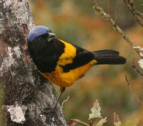 Golden-backed Mountain-Tanager, Buthraupis aureodorsalis. Unchog, Per? Photo:Gunnar Engblom