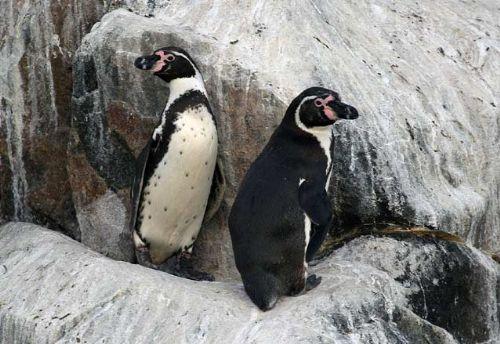 Humboldt Penguin, Spheniscus humboldti. Pucusana, Lima, Perú. Photo:Gunnar Engblom