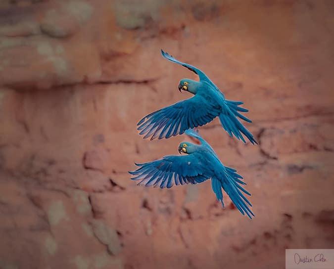 Lears Macaw