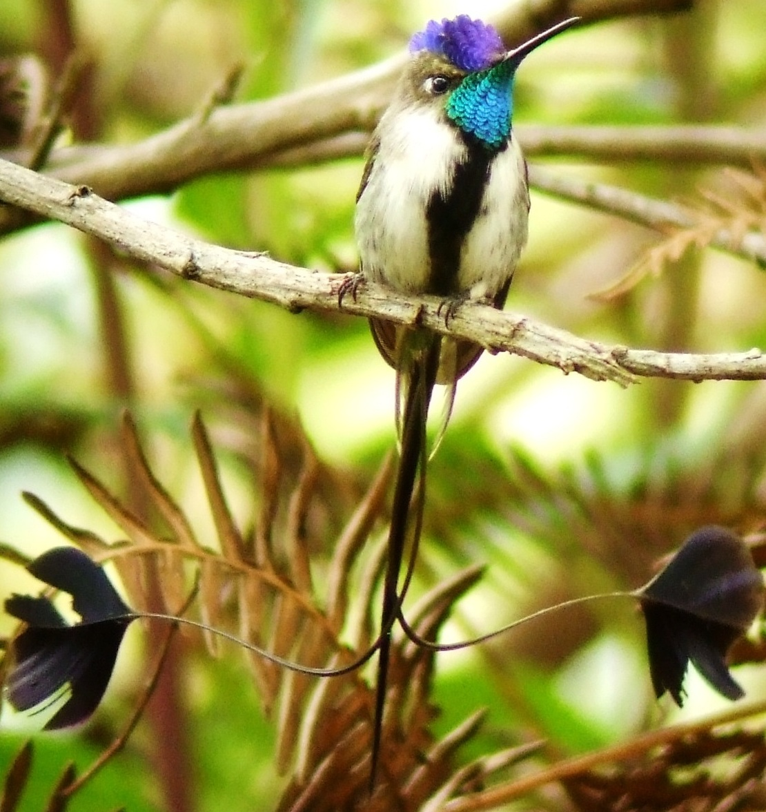 Marvelous Spatuletail. Photo: Alex Durand.