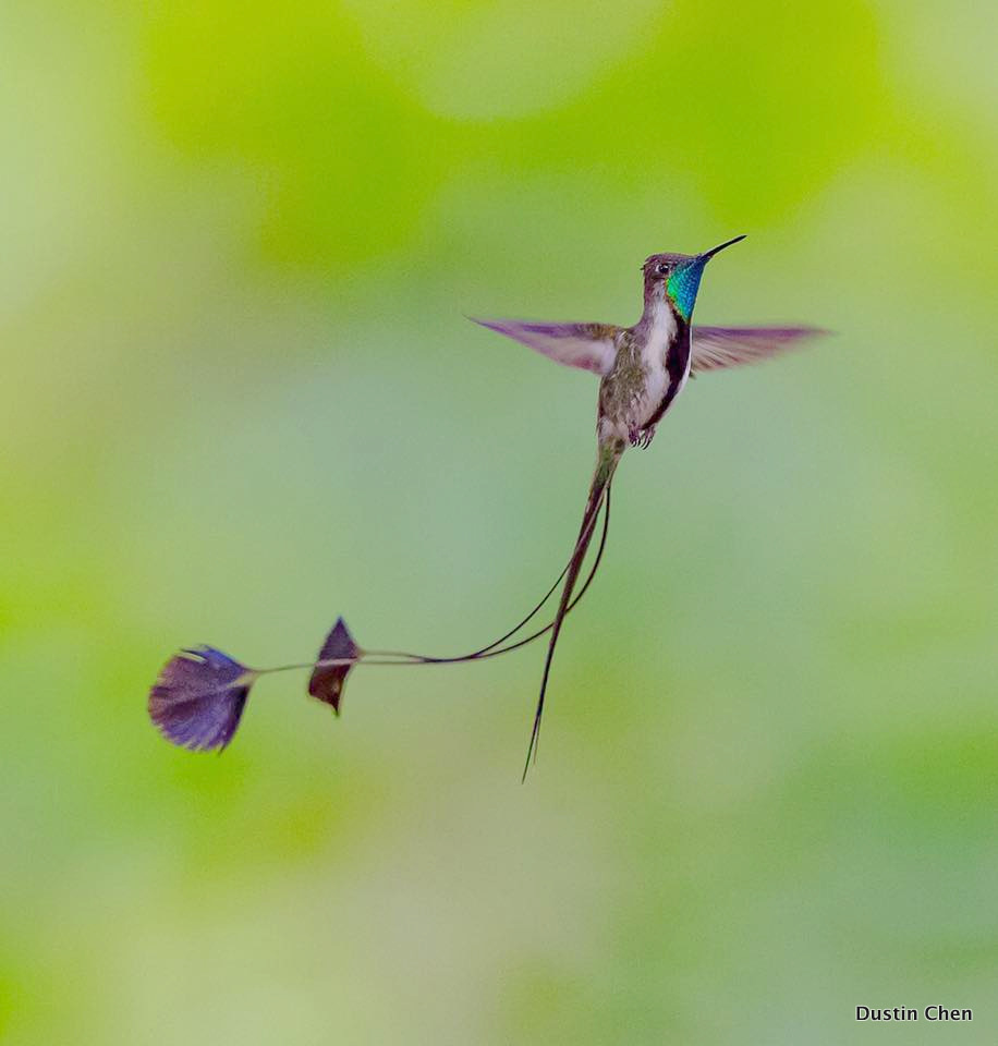 Marvelous Spatuletail - Dustin Chen