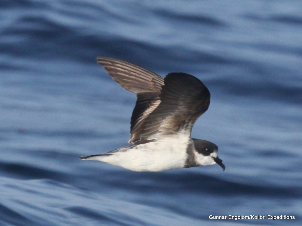 Ringed Storm-Petrel. Photo: Gunnar Engblom