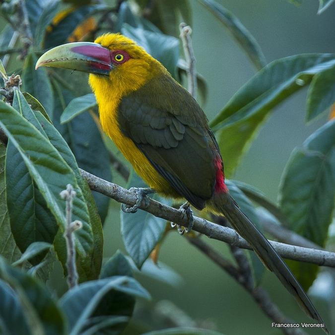 Saffron Toucanet - Pteroglossus bailloni. Francisco Veronesi. Creative Commons