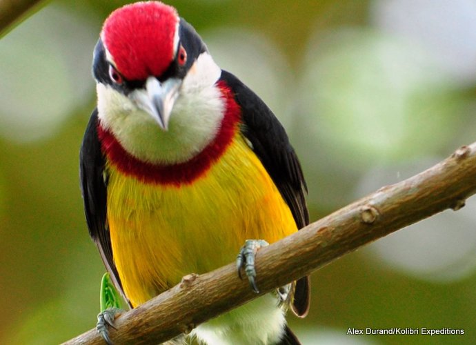 Scarlet-banded Barbet was described as late as 2000, but the type locality was very hard to get to.. In 2012 a new site for the Barbet became know. In 2013 several groups have been taken to see the bird which is on the cover of the Birds of Peru book. - Alex Durand