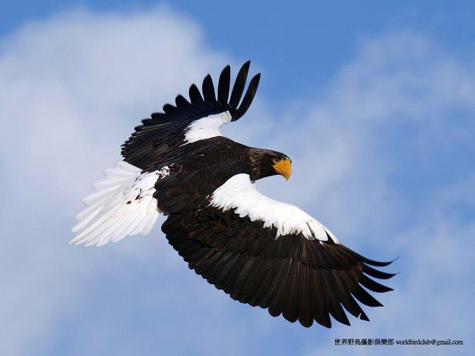 Steller's Eagle Haliaeetus pelagicus. Photo: ChunHsien Huang