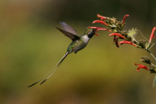 Peruvian Sheartail - Photo: Alejandro Tello