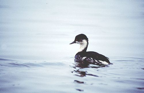 Junin Grebe - Photo: Alejandro Tello